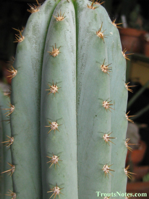Trichocereus sold as San Pedro (Peru) in 2009