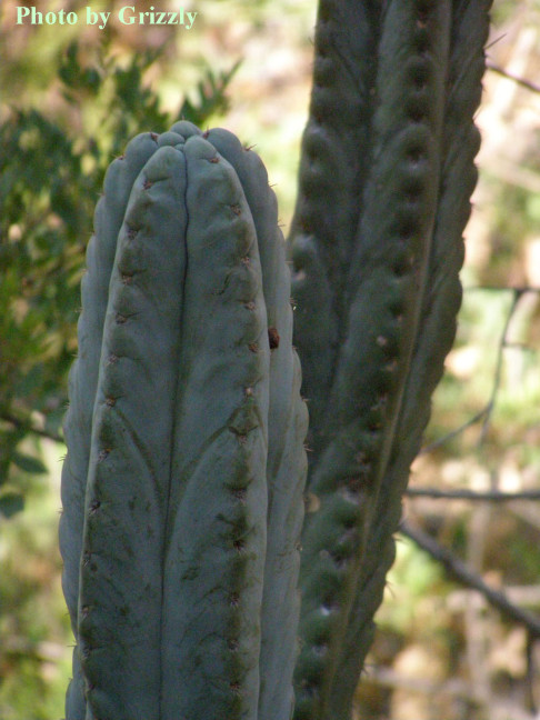 Trichocereus peruvianus above Matucana with short spine (Grizzly in 2008)