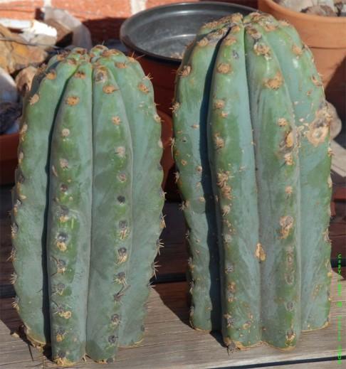 Trichocereus-peruvianus_shortspined_Matucana_arrival
