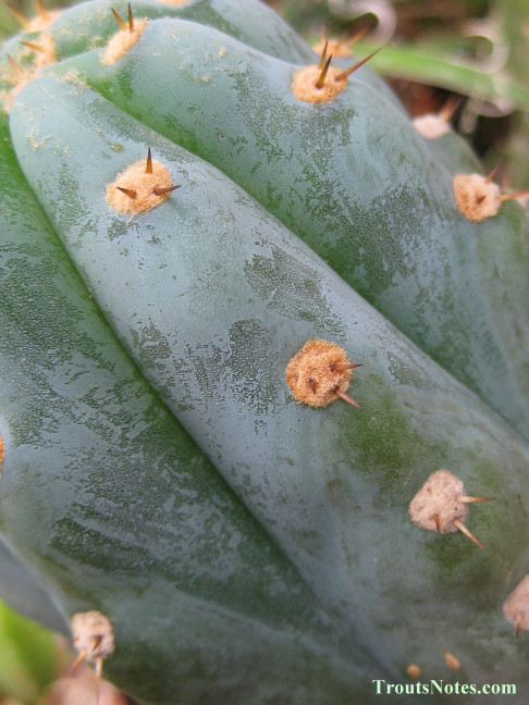 Trichocereus sold as San Pedro (Peru) in 2013