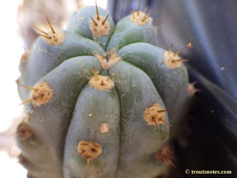 Trichocereus sold as San Pedro (Peru)