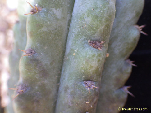 Trichocereus sold as San Pedro (Peru)