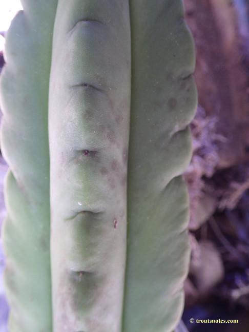 A Trichocereus scopulicola cutting