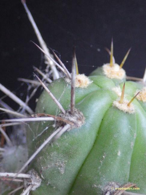 Trichocereus tulhuayacensis (Knize)