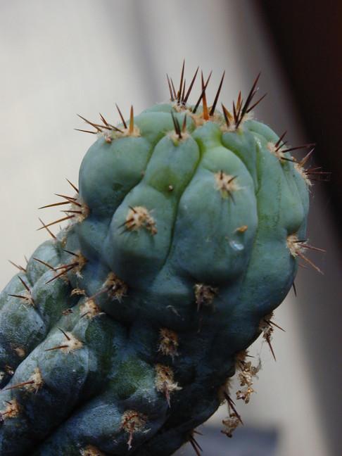 Trichocereus (GF) 2002