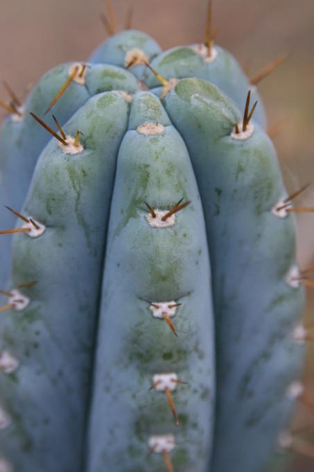 blue Trichocereus (GF) 2010
