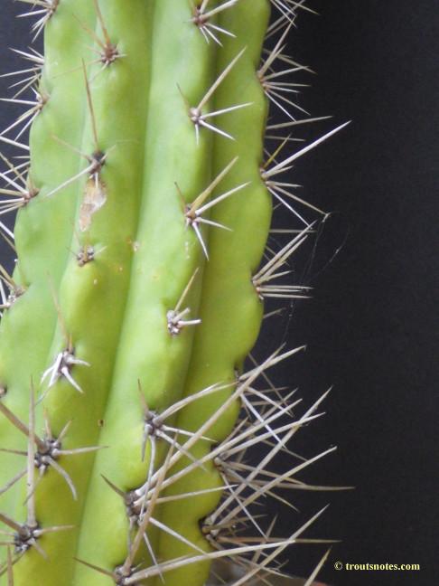 Trichocereus cuzcoensis (Eltzner via GF)