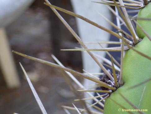 Trichocereus_cuzcoensis_Eltzner_GF_July2015_IMGP6718