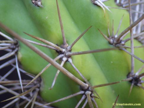 Trichocereus_cuzcoensis_Eltzner_GF_July2015_IMGP6725