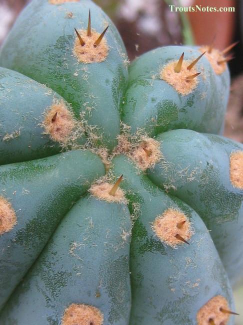 Trichocereus sold as San Pedro (Peru) shown in 2013