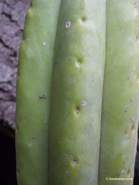 aff. huanucoensis
