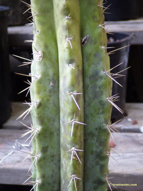 tagged pallarensis
