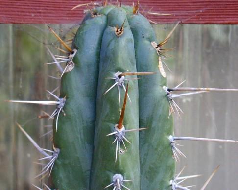 pachanot X peruvianus (F1)