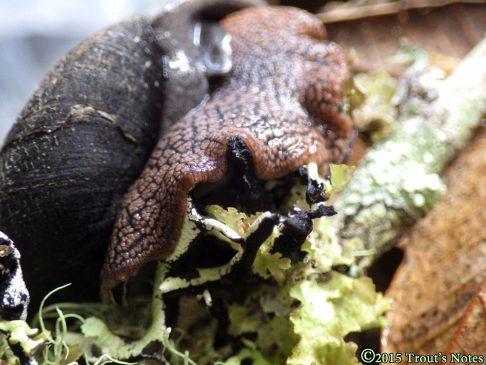 Redwood Sideband (Monadenia infumata)