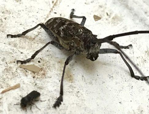 Monochamus scutellatus