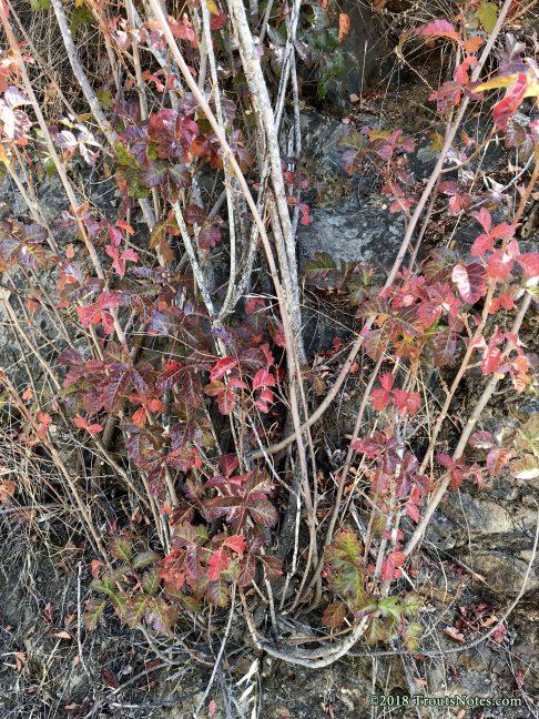 Rhus diversiloba AKA Poison oak