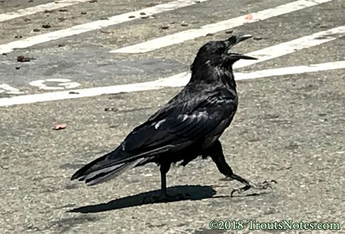 Corvus corax (common raven)